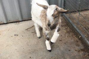 Australian Miniature Goat